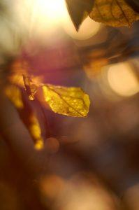 bokeh photo of translucent leaves